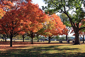 maple trees in Autumn on Washington DC's National Mall